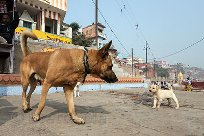 A shephard-type dog stares down a puppy on the ghats in Varanasi, India. Both are stray dogs. This big one has no owner eithe...
