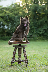 brown pomeranian sitting on a stool