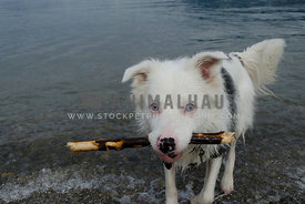 An unusual looking Australian Shepherd comes out of the ocean with a stick in his mouth