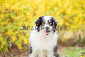 close up of smiling australian shepherd standing in front of yellow bushes
