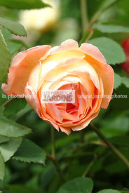 Rosa 'Lady Emma Hamilton' (Rose). Obtenteur : Ausbrother. Rose anglaise