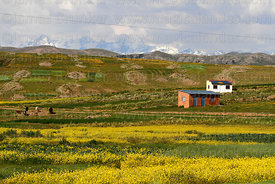Rapeseed (Brassica napus) plants growing on altiplano and house, Bolivia