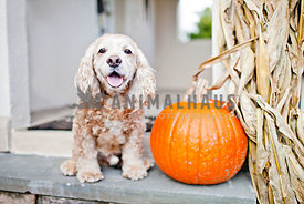 cocker spaniel sitting on porch with pumpking and corn stalk on Halloweed