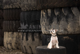 dog with mohawk in tire yard