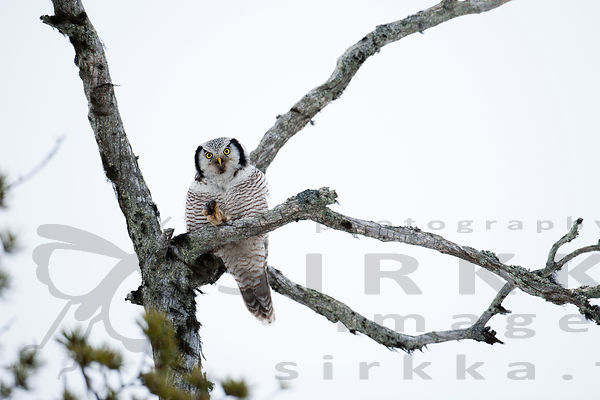 Hawk Owl´s Snack photos