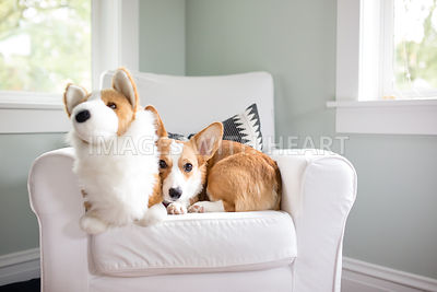 Corgi_sitting_with_corgi_stuffedanimal