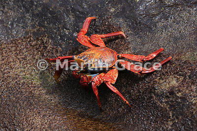 Sally Lightfoot Crab (Grapsus grapsus), Punta Pitt, San Cristobal, Galapagos Islands