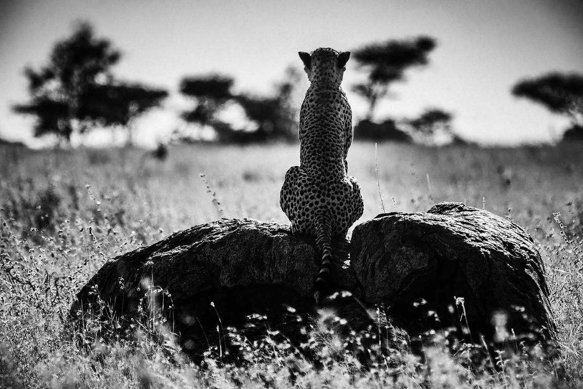 00684-Cheetah_on_a_rock_Tanzania_2018_Laurent_Baheux