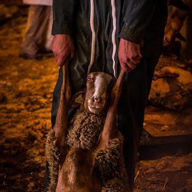 Isnard's farm - Sheep shearing
