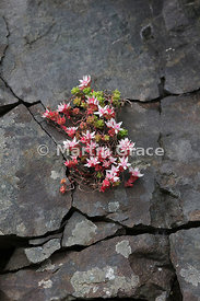 English Stonecrop (Sedum anglicum), Salen, Isle of Mull