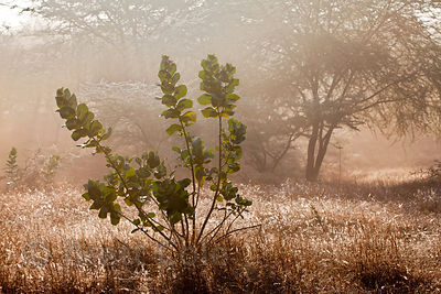 Early morning nature along the rural road from Pushkar to the village of Kharekhari, Rajasthan, India