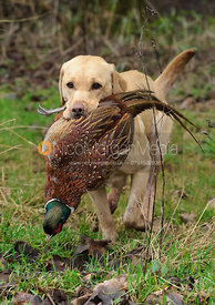 Game shooting images - a gundog with pheasant