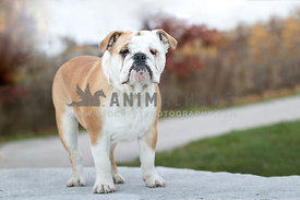 bulldog puppy in autumn