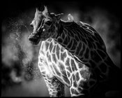 9729-Giraffes_drinks_in_the_river_Laurent_Baheux