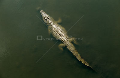 Nile crocodile {Crocodylus niloticus} viewed from above, Kruger National Park, South Africa