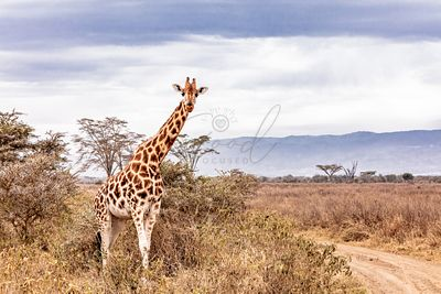 Rothschild Giraffe Along Road in Kenya Africa