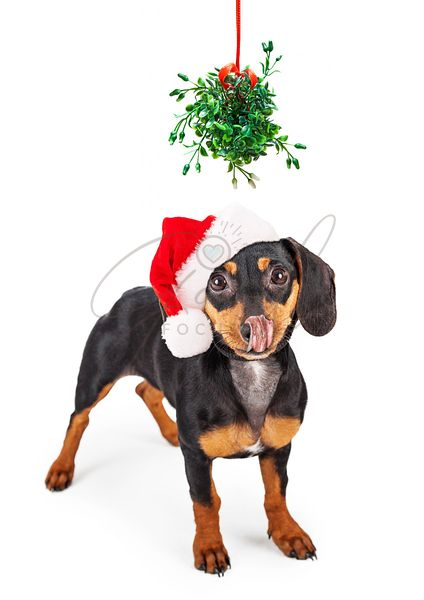 Wiener Dog Kiss Under Mistletoe