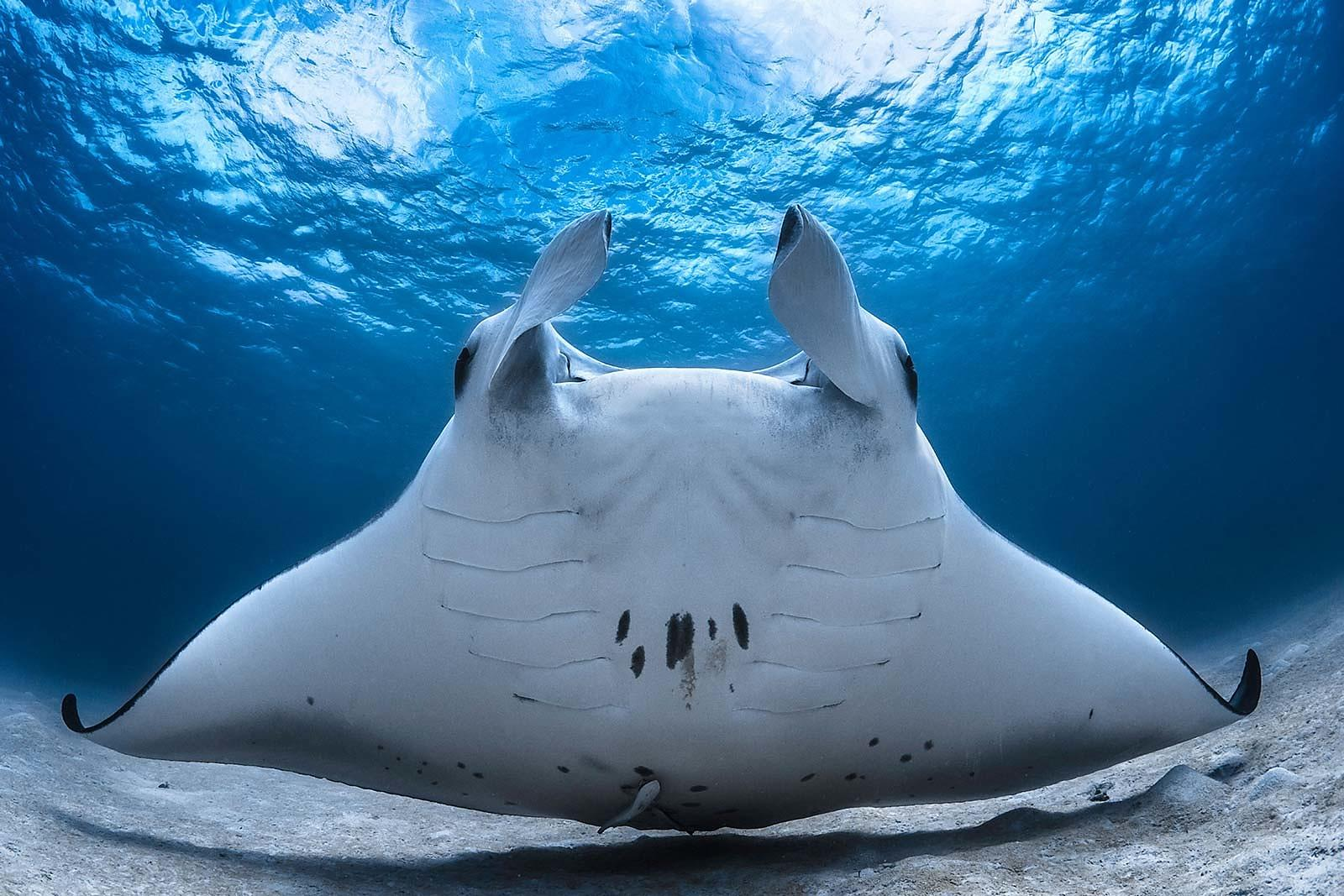 Manta Ray-underwater photography