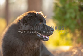 close up of large long haired black mutt looking away