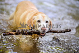 yellow lab dog retrieving stick in water