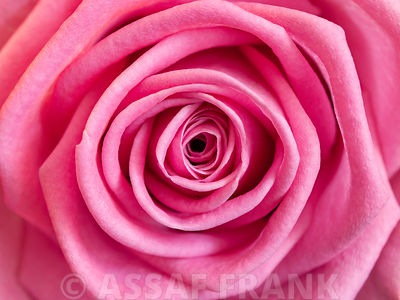 Rose, close-up