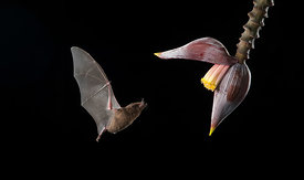 Pallas' Long-Tongued Bat
