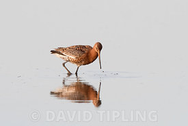 Black-tailed Godwit Limosa limosa starting to moult out of  breeding plumage TItchwell RSPB Reserve August