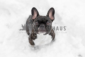 Brindle French Bulldog sitting in the winter snow