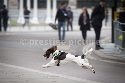 Police Explosives Sniffer Dog  in Action outside Westminster Abbey - Sunday 10th May 2015