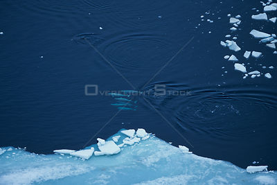 Aerial view of Beluga / White whale {Delphinapterus leucas} group swimming near ice edge, Canadian arctic