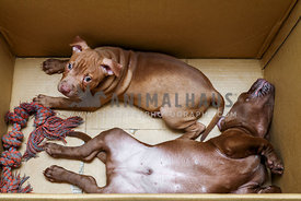 Two pit bull puppies in a carboard box