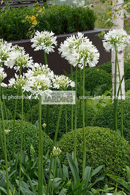 Agapanthus, Ball shaped, Bush, Buxus, Contemporary garden, Perennial, Perennial rhizome, Sphere shaped, Topiary, White, Commo...