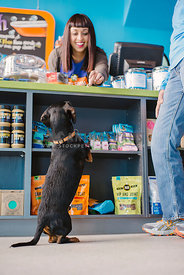 black and tan wire-haired daschund sits pretty for a cookie at a pet boutique counter
