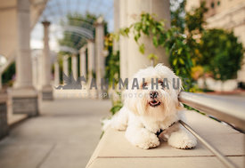 smiling havanese sits on wall in urban architecture park