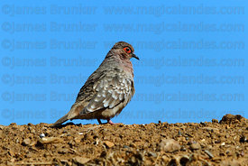 Bare faced ground dove (Metriopelia ceciliae)