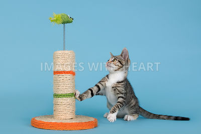 Curious kitten looking playfully at toy