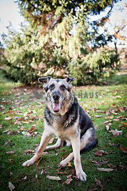 german shepherd sitting on grass in fall in front of evergreen trees