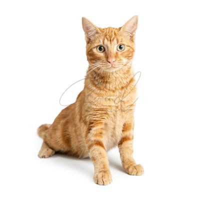 Pretty Orange Cat Sitting Up Tall on White