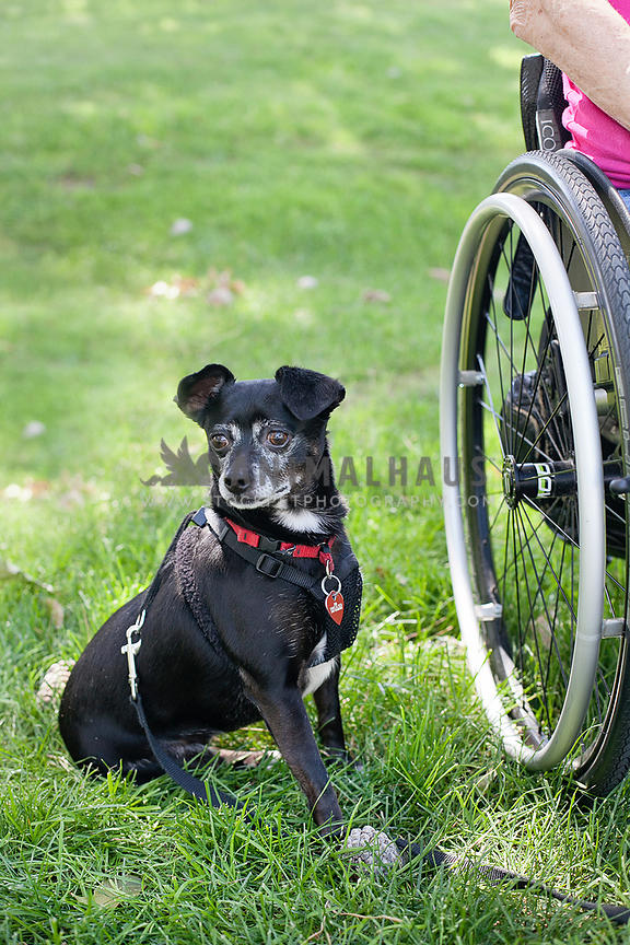 small-black-senior-dog-next-to-disabled-owner-in-wheelchair