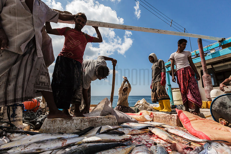 Yemeni Fishemen Putting their Catch on Ice