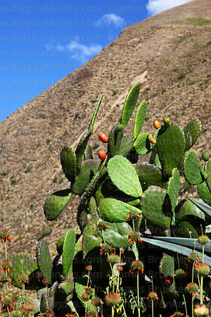 Opuntia ficus-indica or prickly pear cactus with fruit (called tuna)