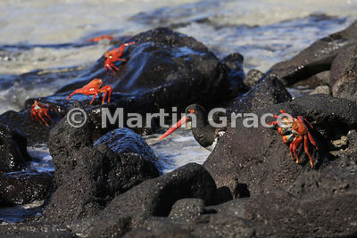 American Oystercatcher (Haematopus pallidus) surrounded by adult Sally Lightfoot Crabs (Grapsus grapsus), Sombrero Chino, Gal...