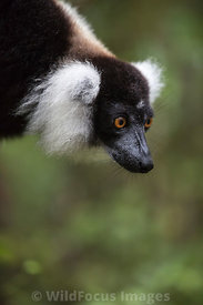 Black-and-white ruffed lemur (Varecia variegeta), Madagascar; Portrait