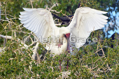 African Spoonbills (Platalea alba) mating, River Chobe, Botswana: Image 3 of 3 to show the wings of the male in different pos...