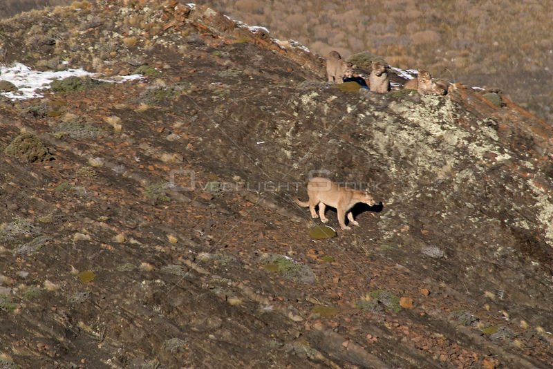 Puma (Felis / Puma concolor) female and four cubs resting on top of rocks, Torres del Paine National Park, Chile, 2004