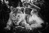 07265-Lion_gymnastic_Tanzania_2018_Laurent_Baheux