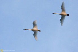 Tundra Swans in Flight #1