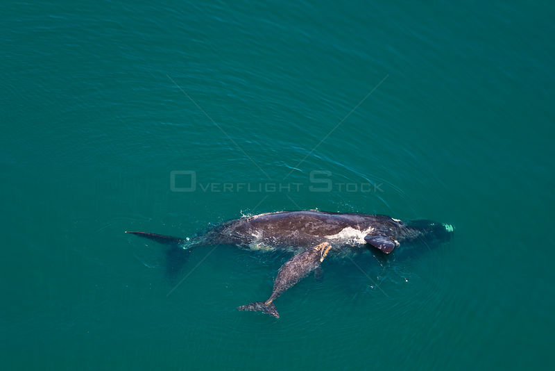 Aerial view of Southern right whale (Eubalaena australis / Balaena glacialis australis) mother anf calf. Valdes Peninsula, Pa...