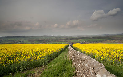 Rape seed oil fields Sheldon