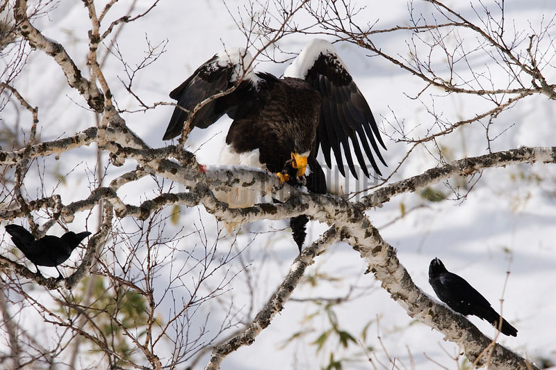 Steller's Sea Eagle eating its prey, a murre, Hokkaido, Japan